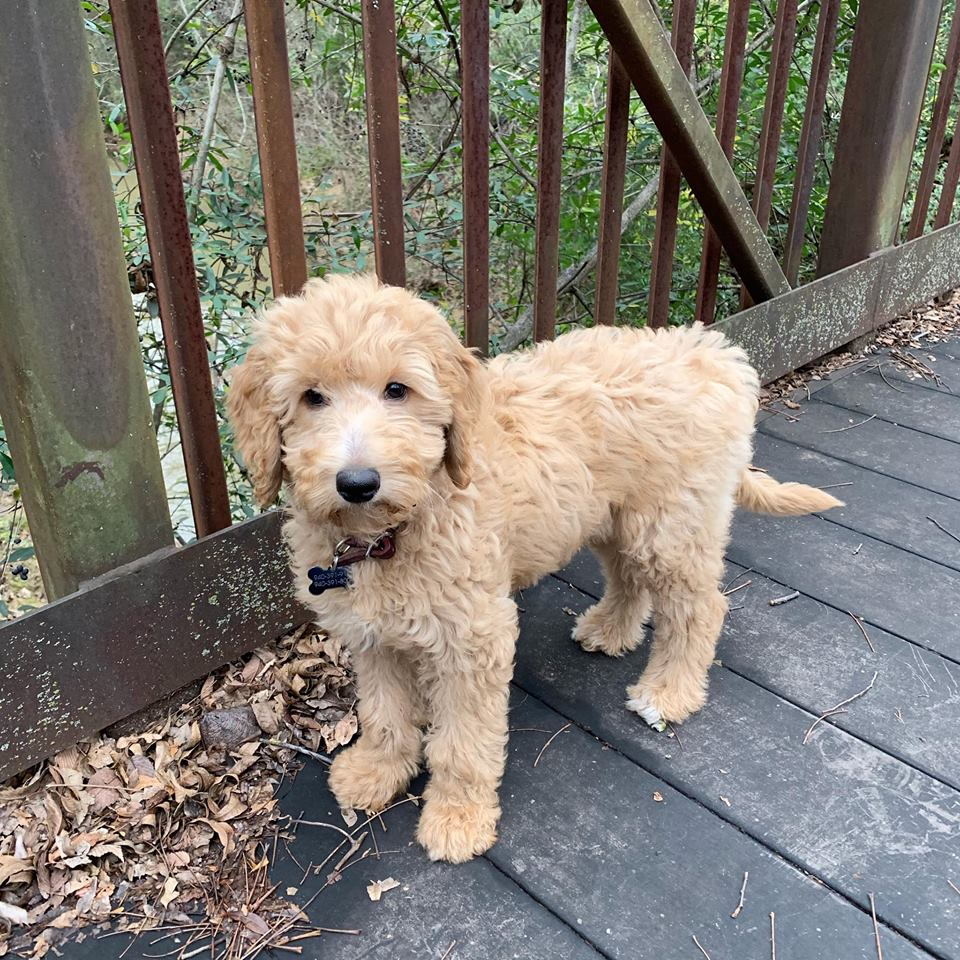 Goldendoodle Puppies Near Dallas TX - Home - Southland Puppies